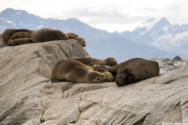 Seals in Beagle Channel, Ushuaia, Argentina