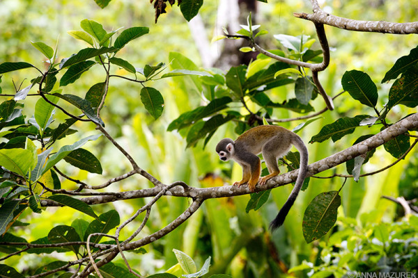 A squirrel monkey climbs across a tree on Monkey Island in the Amazon near Iquitos, Peru.
