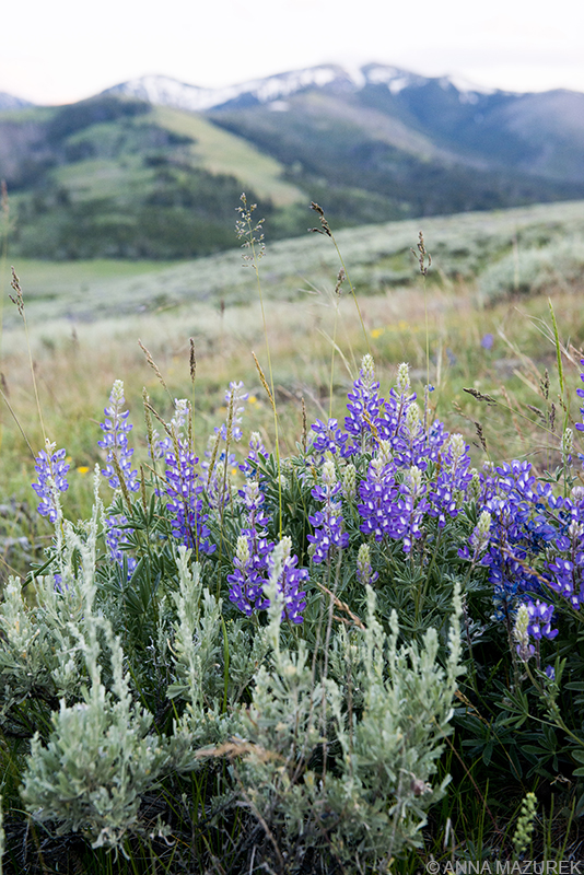 Yellowstone Photo Guide: Wildflowers in the Lamar Valley in Yellowstone